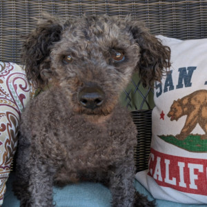 CURLY - Senior Male